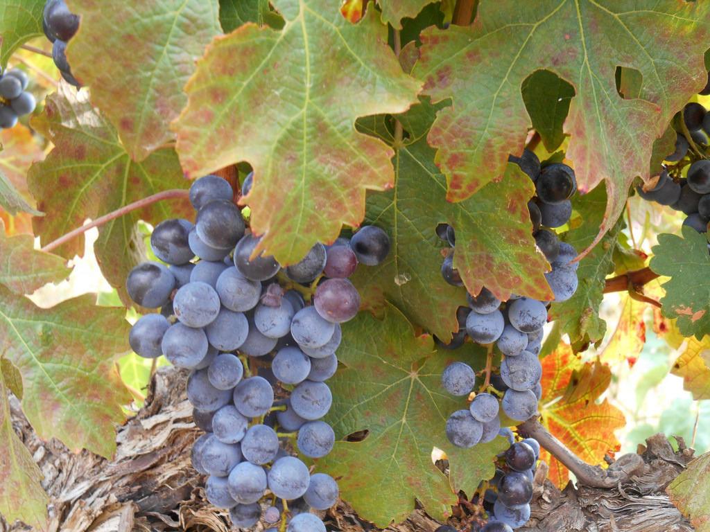 Stellenbosch wine grapes