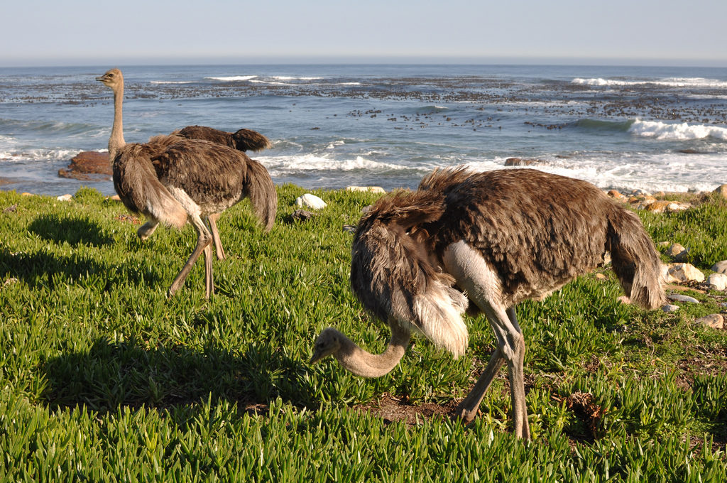 Cape Point Ostrich in Cape Town